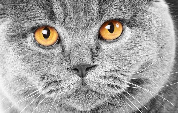 Картинка кошка, глаза, кот, морда, серый, желтые, cat, британский, британец