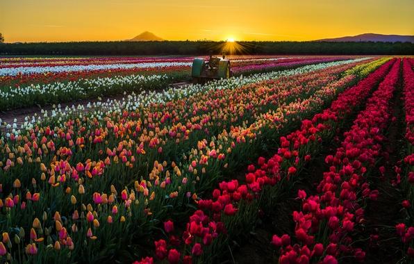 Картинка поле, солнце, закат, цветы, природа, трактор, тюльпаны, США