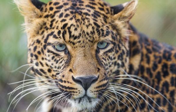 Картинка усы, взгляд, морда, портрет, леопард, дикая кошка
