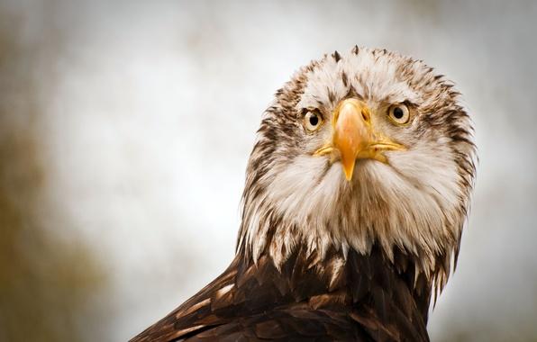 Картинка птица, орел, хищник, перья, клюв, орёл, eagle