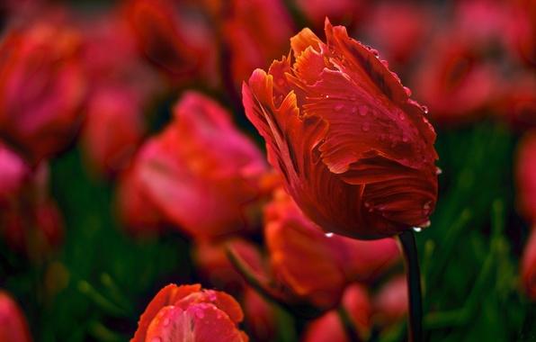 Картинка вода, капли, цветы, природа, роса, тюльпан, весна, лепестки, бутон, тюльпаны, красные, бутоны