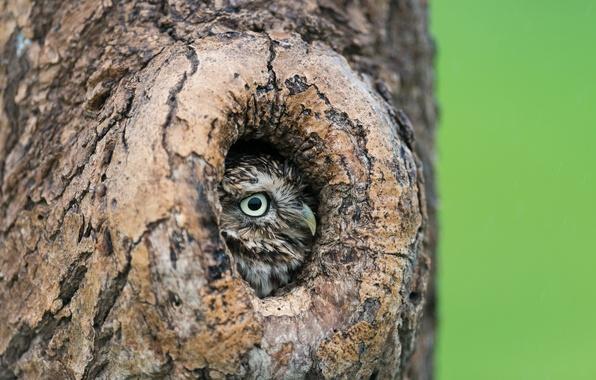 Картинка дерево, сова, дупло