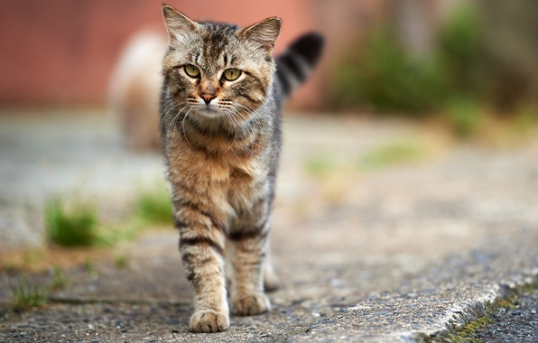 Картинка кошка, кот, асфальт, серый, улица, полосатый