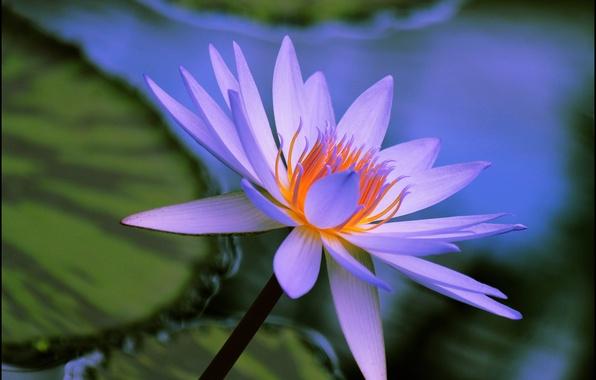 Картинка вода, макро, природа, лист, лилия, лепестки