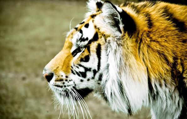 Картинка животные, морда, тигр, фон, widescreen, обои, размытие, пятна, профиль, wallpaper, широкоформатные, background, полноэкранные, HD wallpapers, ...