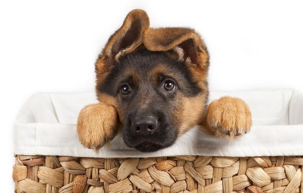 Картинка puppy, dog, pet, german shepherd