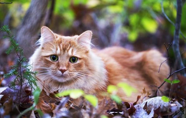 Картинка кошка, трава, глаза, взгляд, листья, зеленые, лежит, рыжая