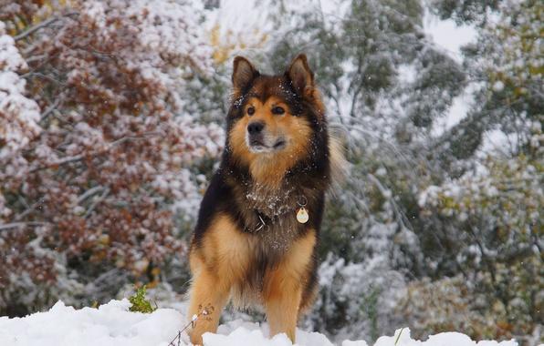 Картинка зима, взгляд, снег, деревья, животное, собака, шерсть, ошейник, уши