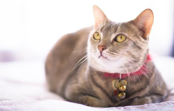 Картинка кошка, кот, ошейник, взляд