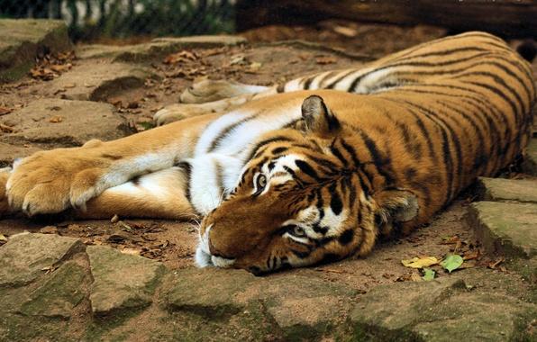 Картинка морда, тигр, камни, лапы, лежит