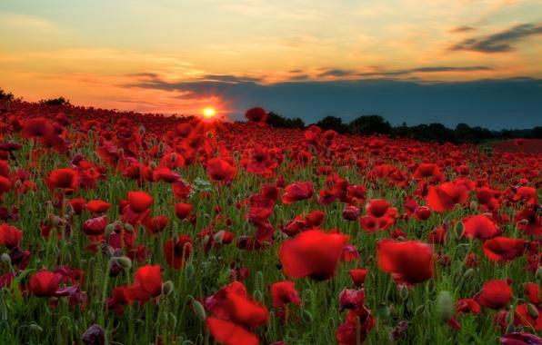 Картинка поле, небо, солнце, облака, закат, цветы, холмы, маки, луг