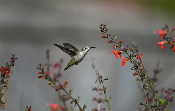 Картинка полет, цветы, птица, колибри, красные