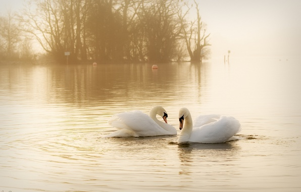 Картинка вода, птицы, туман, пара, грация, дымка, белые, лебеди