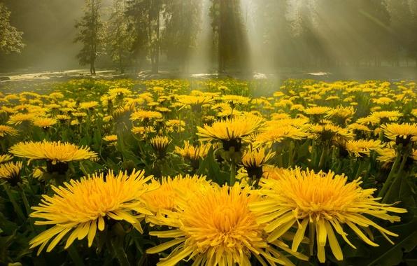 Картинка лес, лучи, поляна, Одуванчики