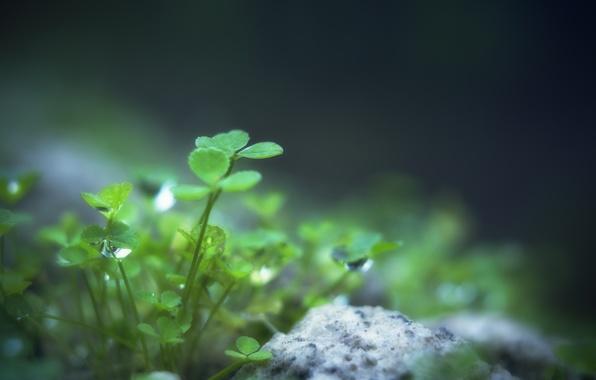 Картинка зелень, листья, вода, капли, макро, природа, роса, green, камень, растение, клевер, листочки