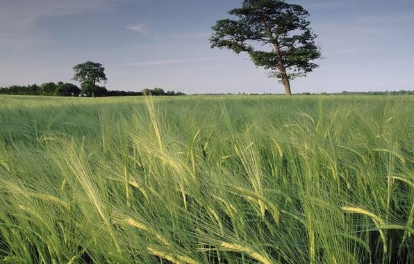 Картинка поле, небо, трава, дерево