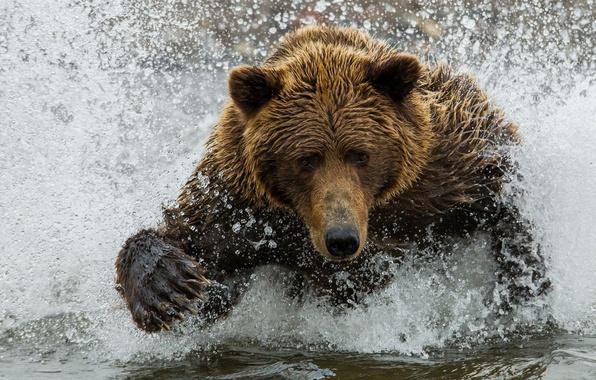 Картинка вода, брызги, медведь, мишка, бурый