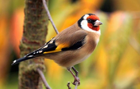 Картинка птица, цвет, ветка, перья, клюв, хвост, щегол