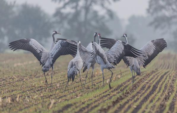 Картинка field, birds, fog, countryside, wildlife, mist, winds, farmland, common crane, grus grus
