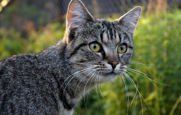 Картинка кошка, усы, взгляд, морда, размытость, серая