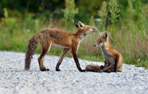 Картинка лето, природа, лисы