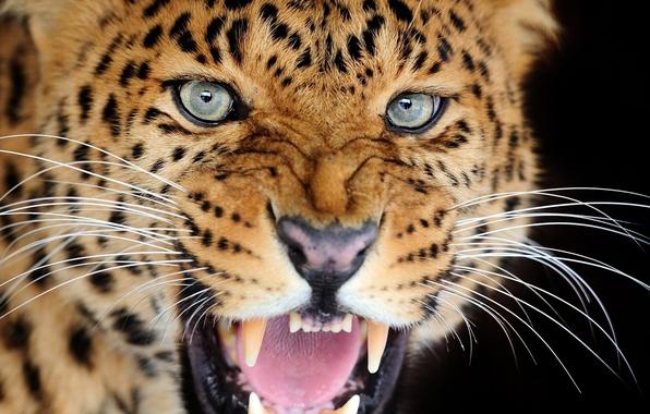 Картинка кошка, взгляд, пасть, леопард, клыки, оскал