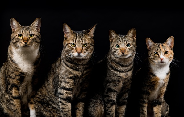 Картинка кошки, темный фон, коты, четверо, серые, полосатые