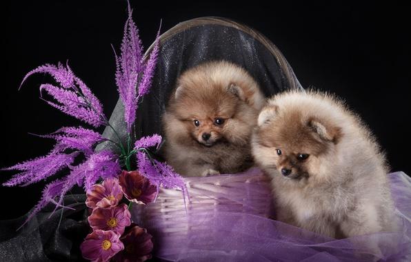 Картинка цветы, корзина, щенки, дуэт, шпицы