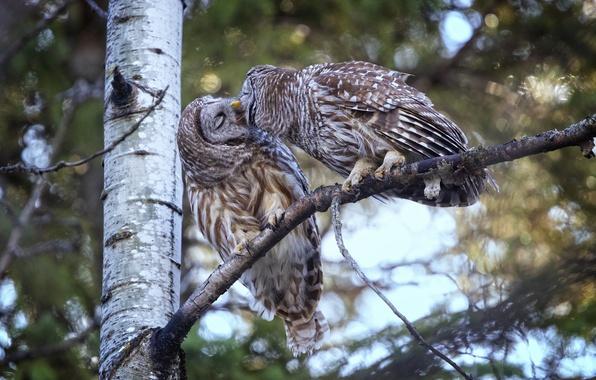 Картинка птицы, дерево, поцелуй, совы, парочка, Пёстрая неясыть