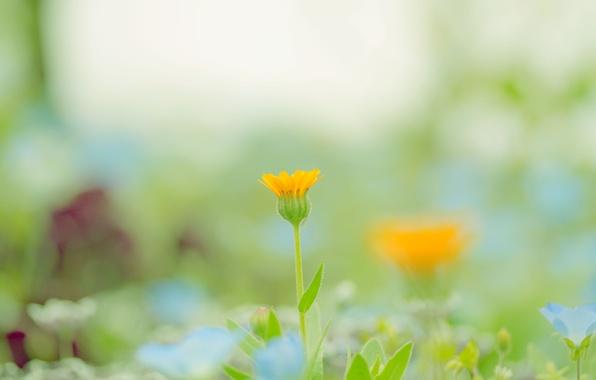 Картинка зелень, цветок, цвета, макро, оранжевый, природа, фон, краски, поляна, растение, весна, размытость