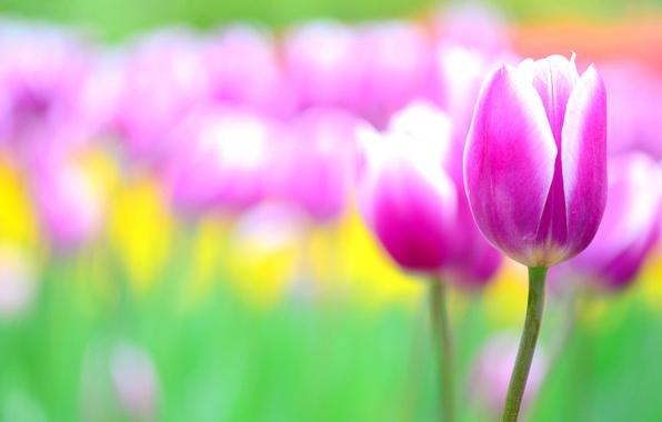 Картинка цветы, розовый, тюльпан, размытость, тюльпаны, клумба