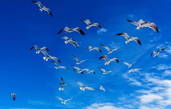 Картинка свобода, облака, полет, птицы, синева, чайки, Небо, крылья, простор, Доминикана, Olyushka.2014