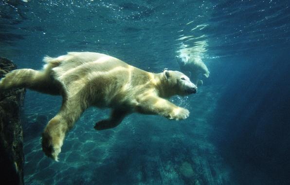 Картинка белый медведь, под водой, плавание