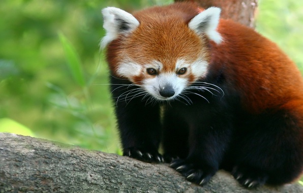 Картинка Красная, панда, firefox, малая панда, бамбуковый медведь