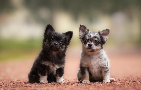 Картинка собаки, щенки, малыши, парочка, Чихуахуа