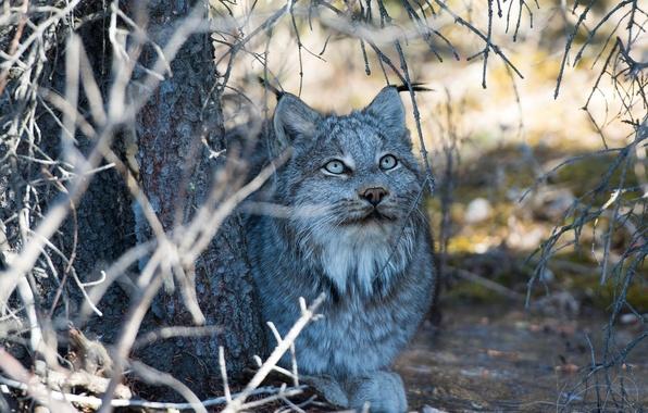 Картинка морда, ветки, отдых, тень, хищник, лежит, рысь, дикая кошка