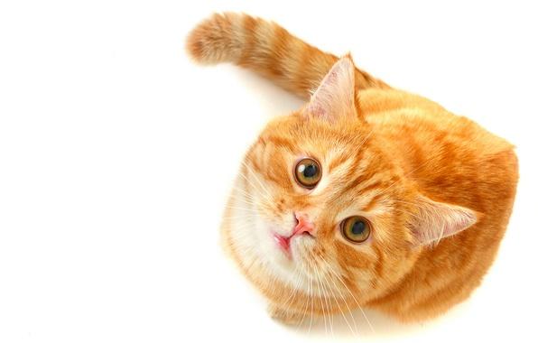 Картинка кошка, глаза, кот, взгляд, рыжий, зеленые, белый фон, смотрит
