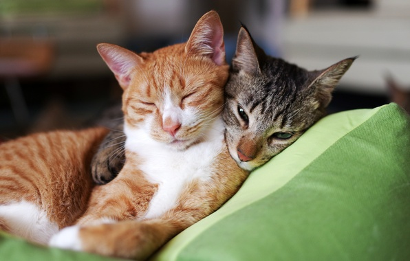 Картинка серый, коты, Кошки, рыжий, подушка, двое, спят