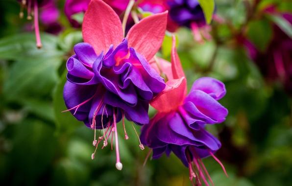 Фото обои цветки, макро, фуксия
