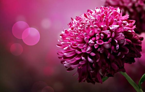 Картинка цветок, фон, цвет, лепестки, яркость, хризантема