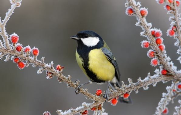 Фото обои ягоды, ветки, снег, птица