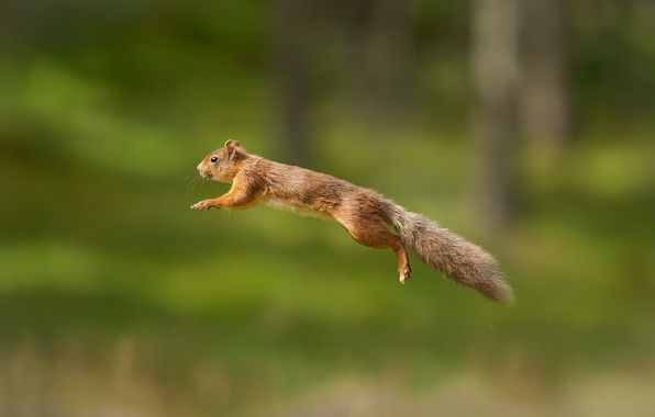 Картинка фон, прыжок, белка, рыжая, полёт, боке