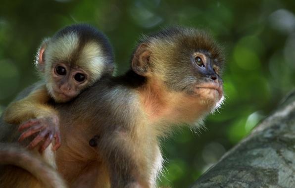 Прикольные обои для рабочего стола обезьяны