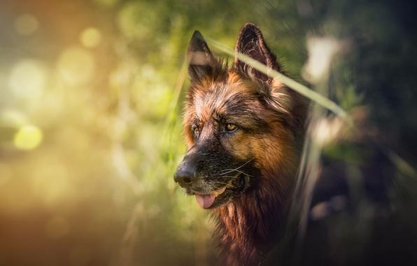 Картинка морда, собака, боке, овчарка, Немецкая овчарка