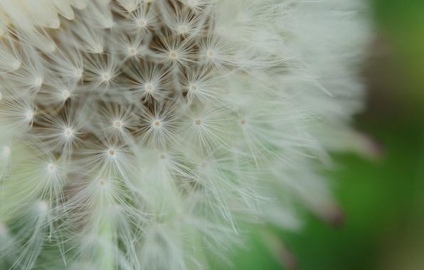 Картинка цветок, макро, природа, фон, одуванчик, пух