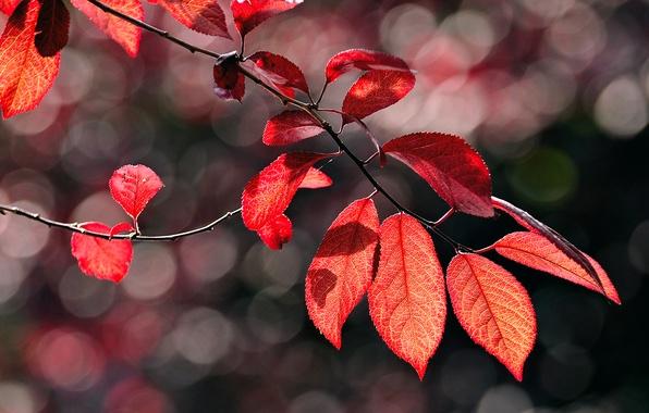Картинка осень, макро, блики, листва, ветка, красная