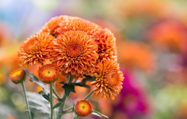 Картинка осень, цветы, природа, оранжевые, хризантемы