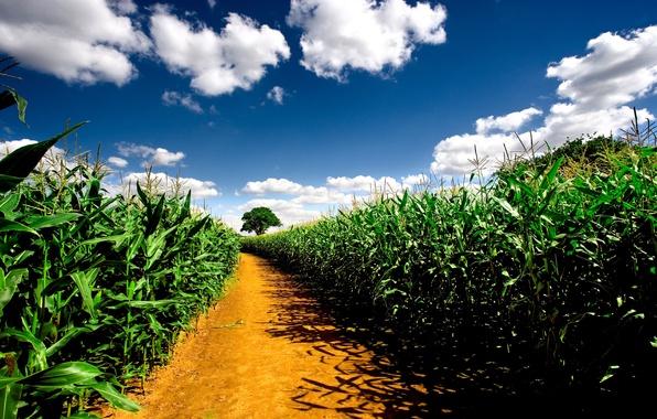 Картинка дорога, поле, небо, пейзаж, природа, растения, road, pathway, corn fields, кукурузные поля