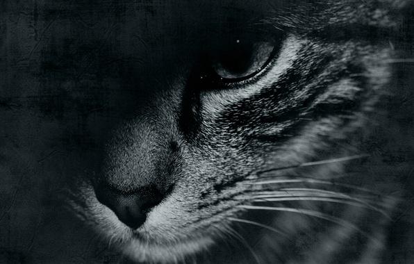 Картинка кот, усы, морда, глаз, фон, widescreen, обои, черно-белое, wallpaper, eyes, широкоформатные, cat, background, face, black …
