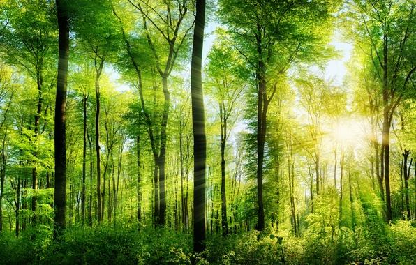 Картинка зелень, лес, лето, деревья, лучи солнца